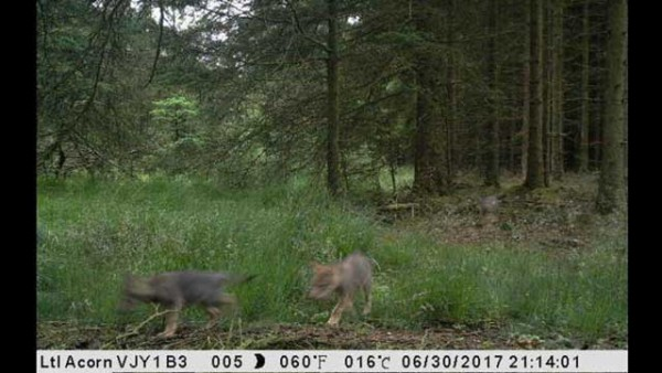 wolves-denmark-thy-wolf-ulv-ulfborg