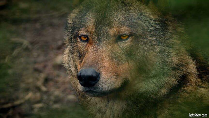 wolves-in-norse-mythology