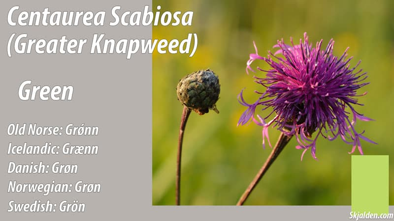 greater-knapweed-green-centaurea-scabiosa-dye