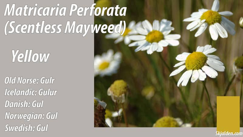 scentless-mayweed-yellow-matricaria-perforata-dye